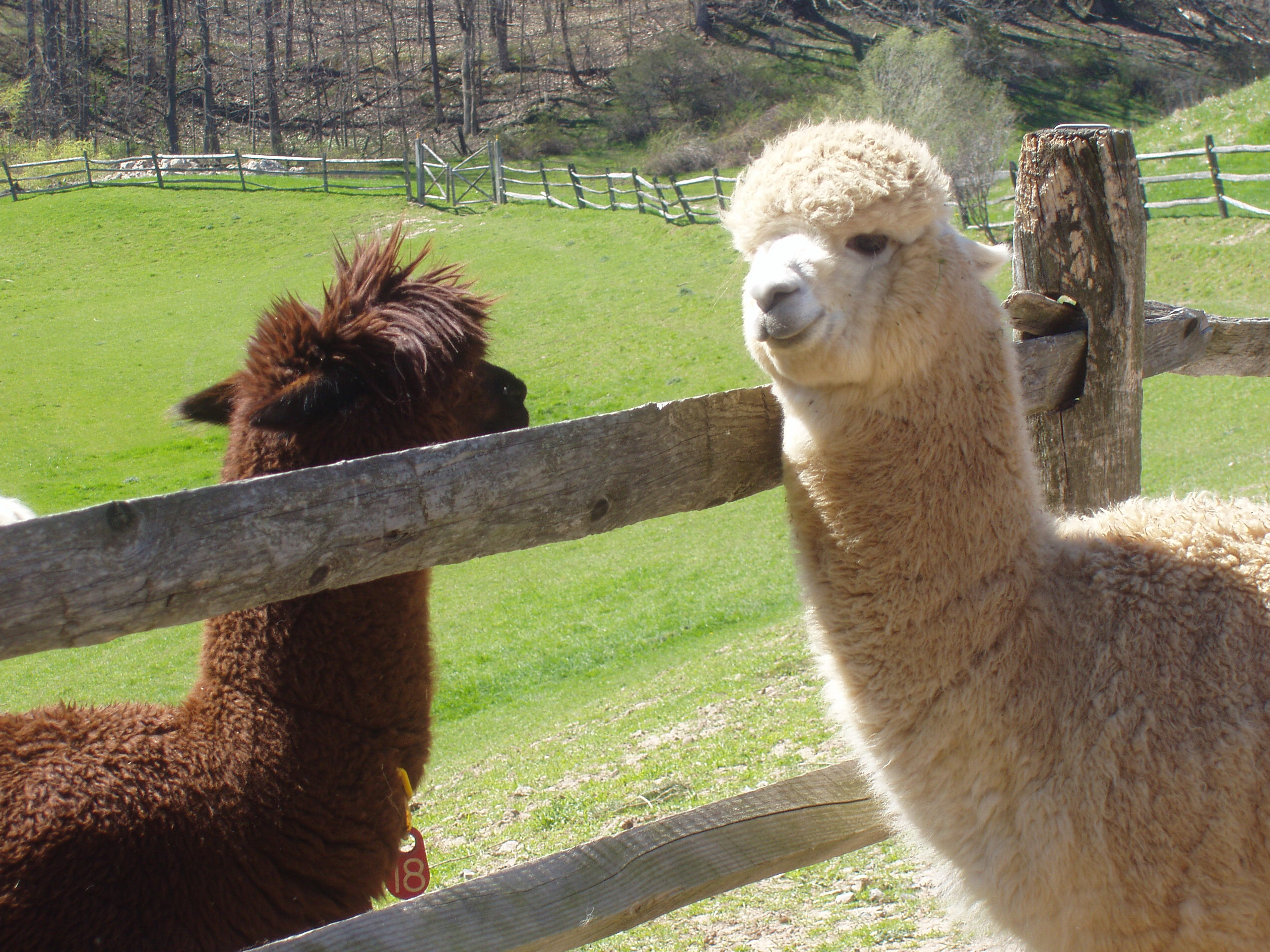 Alpaca Meeting