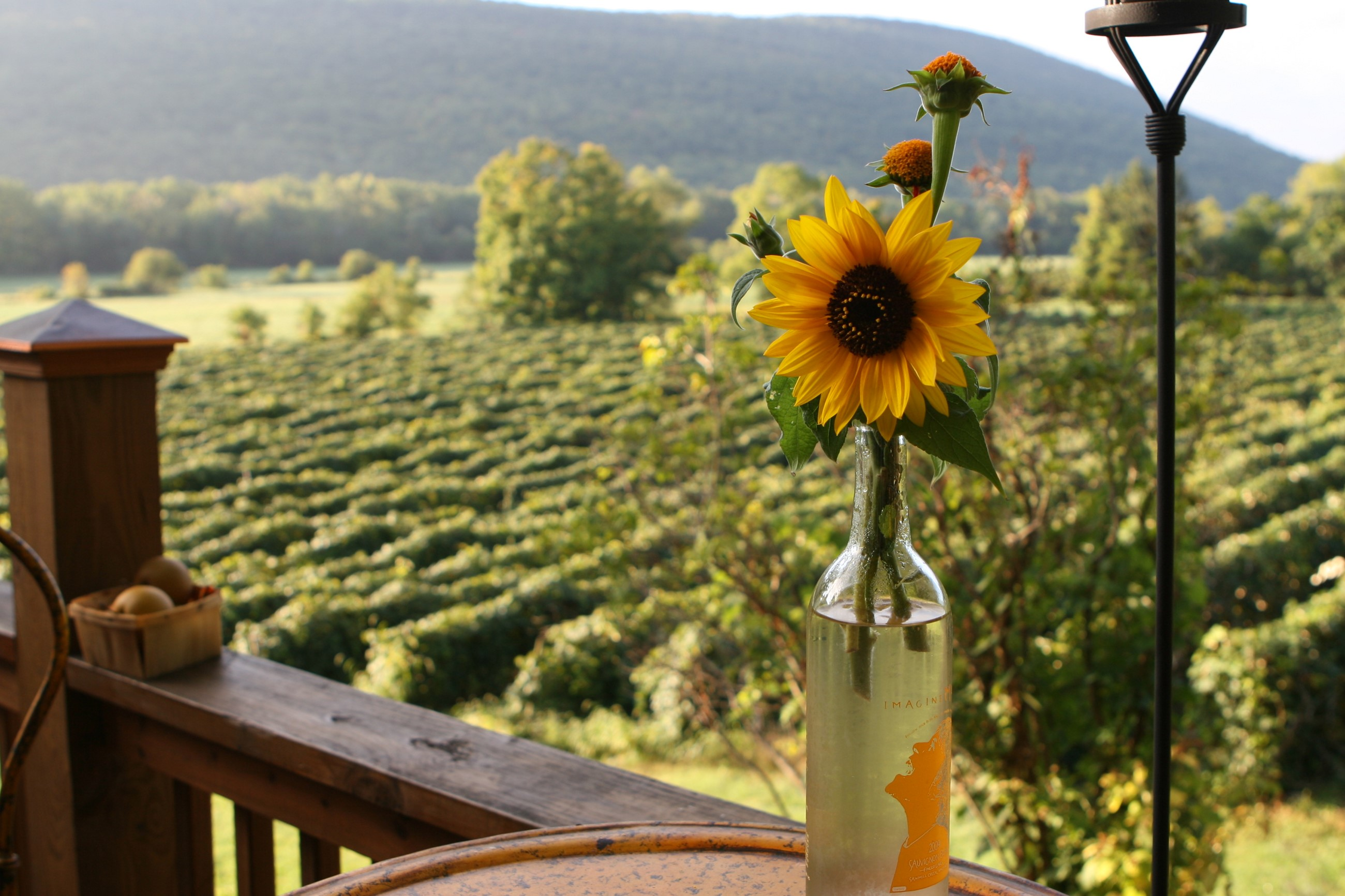 Sunflower Over the Winery - Naples, NY