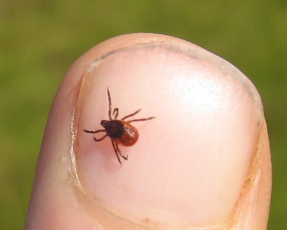 Click for Tick ID Guide
